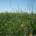 Blooming rye